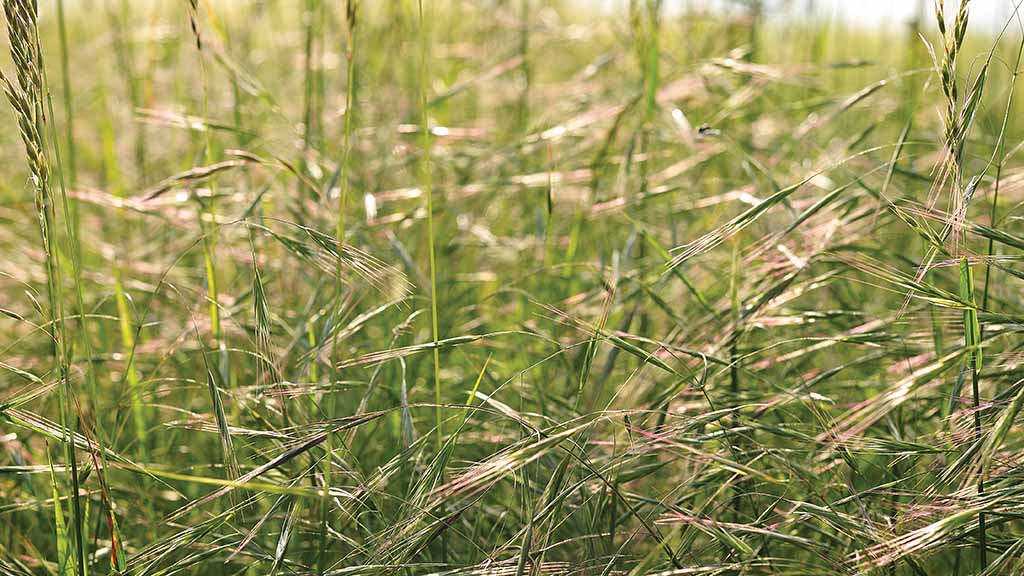 New farmer-led field lab to control brome grass and prevent herbicide resistance