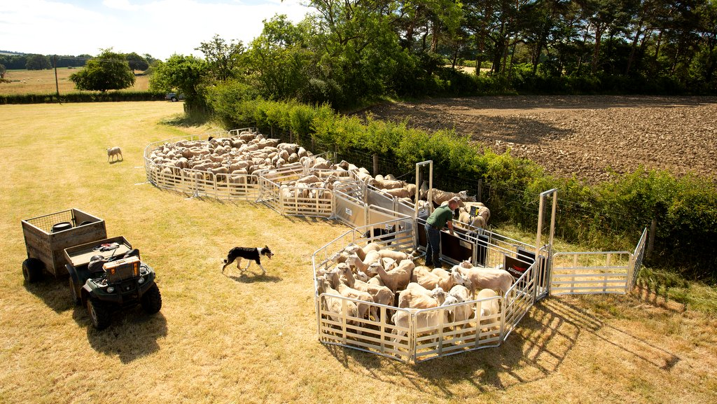 Upgraded Alligator sheep handling system from Allflex