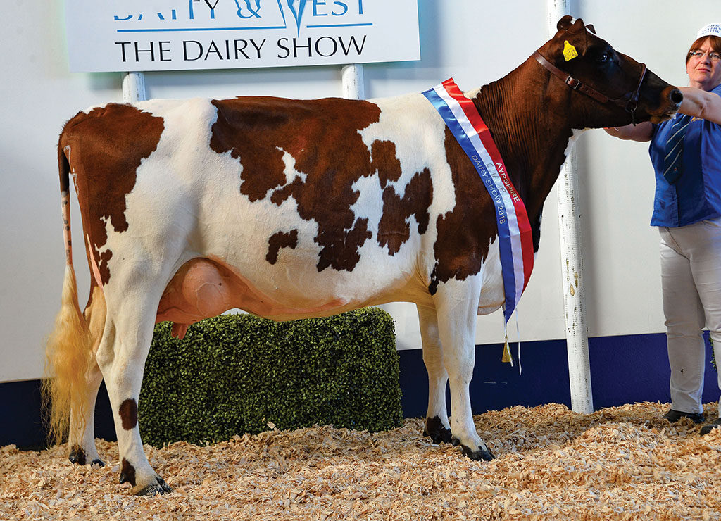 Ayrshire champion, Coombe Hot Peaches, from Brian and Sharon Coombe, St. Buryan.