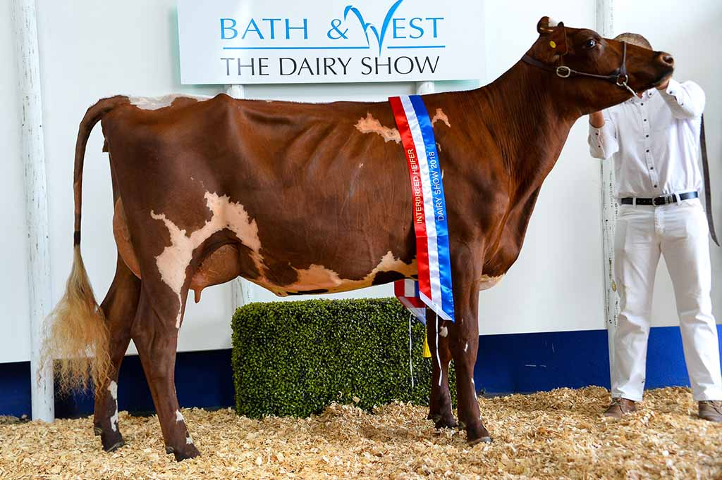Inter-breed reserve, inter-breed heifer and Dairy Shorthorn champion, Cotonhall Absolute Joy.