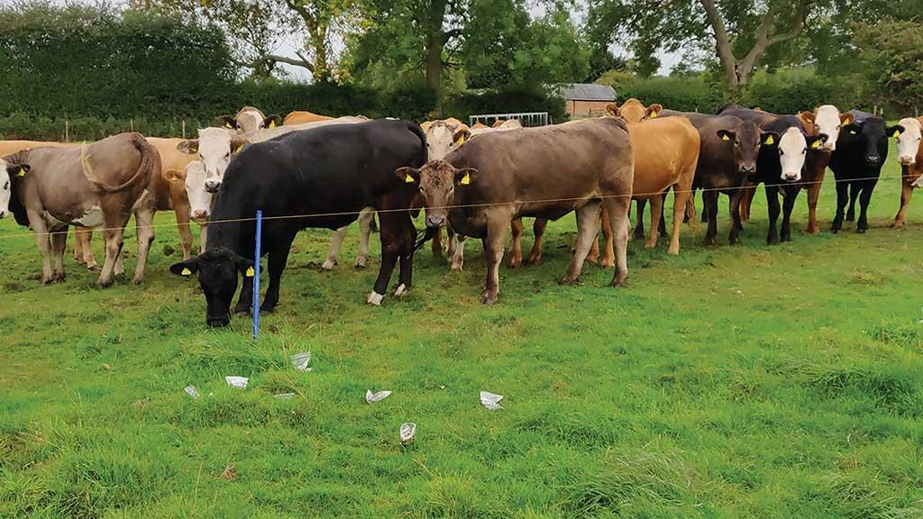 Beef special: Controlling worms and fluke at housing should be considered