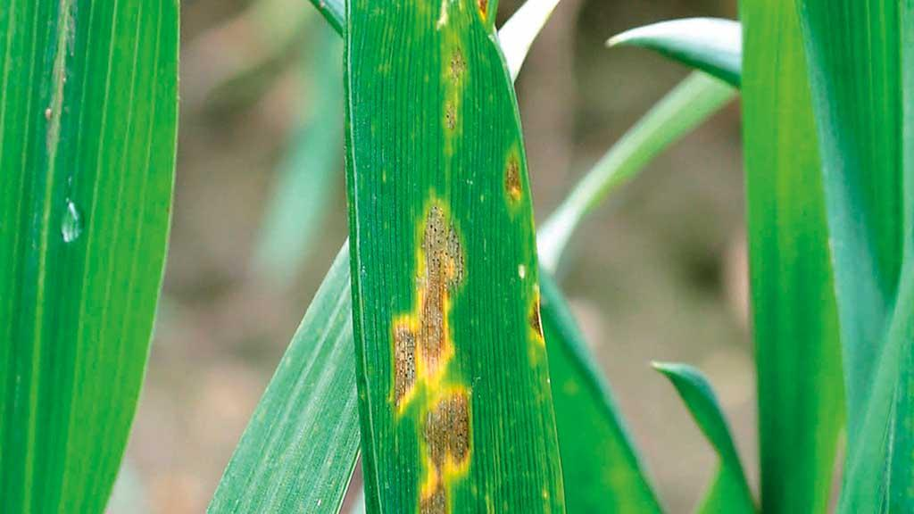 Western focus for septoria research