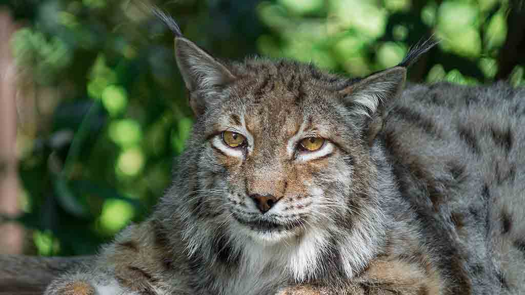 Lynx reintroduction rejected as Gove slams lack of local support in proposals