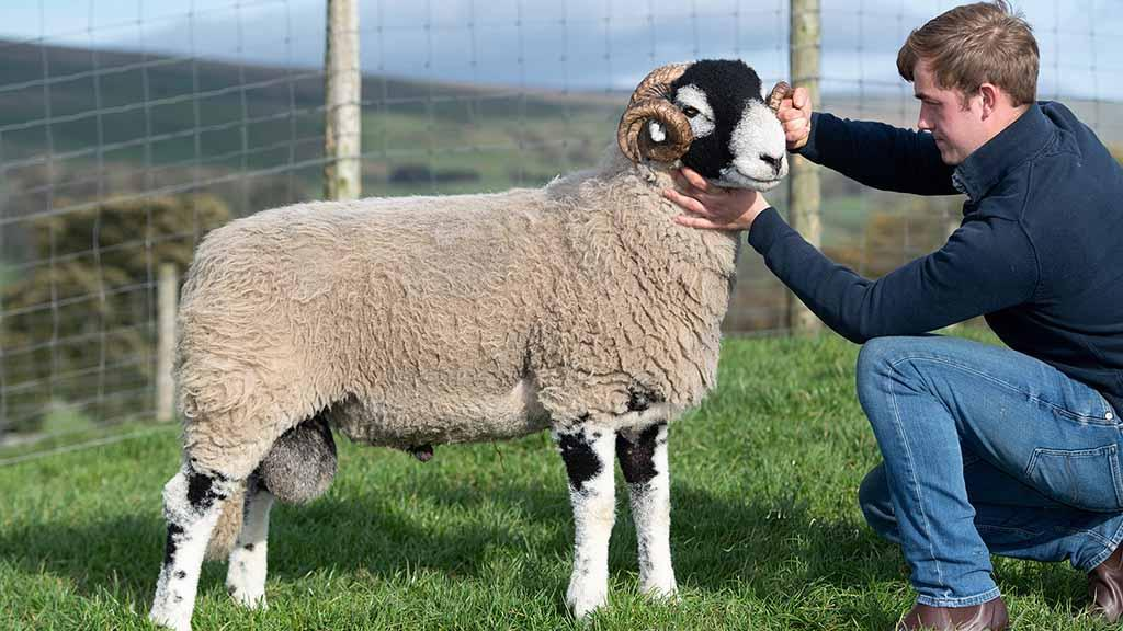 Swaledale rams to £32,000 at Hawes