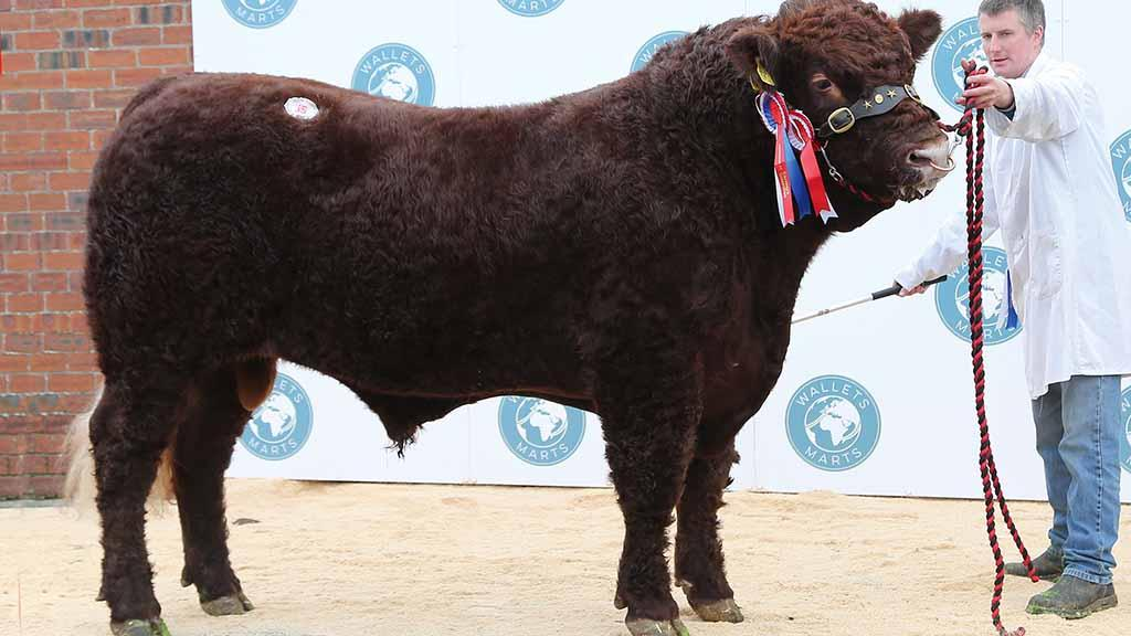 Reserve overall champion, Bacardi Maximus, from R. and A. Crockett, Hawick, which sold for 3,800gns.