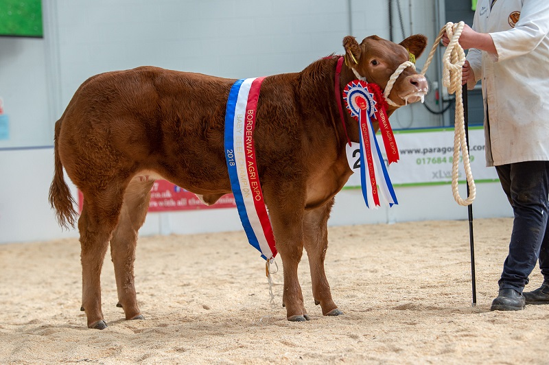 Baby beef champion Queen Bee from Peredur and Llyr Hughes