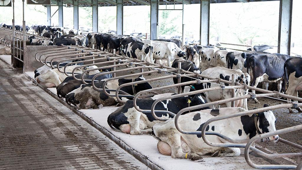 Dairy special: Managing lameness in robotically-milked cows