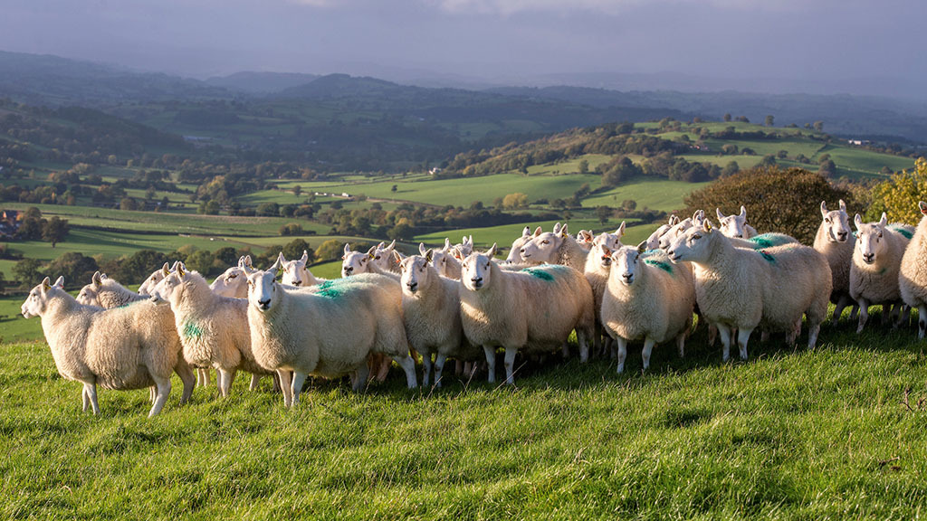 'This is a great opportunity' - Welsh hill ram scheme now open for farmers