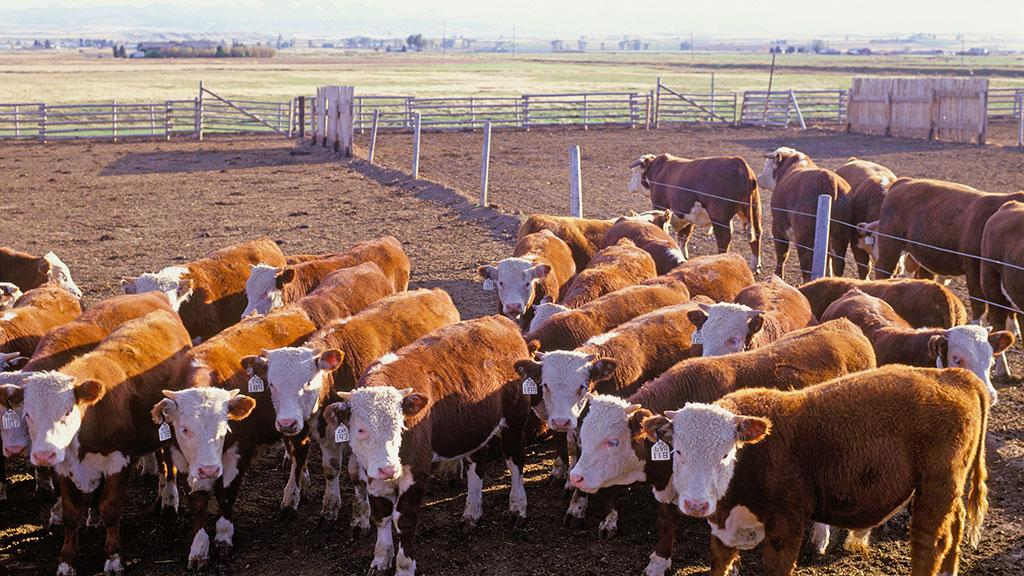Shoppers should have choice to buy hormone-treated beef, says Defra chief scientist