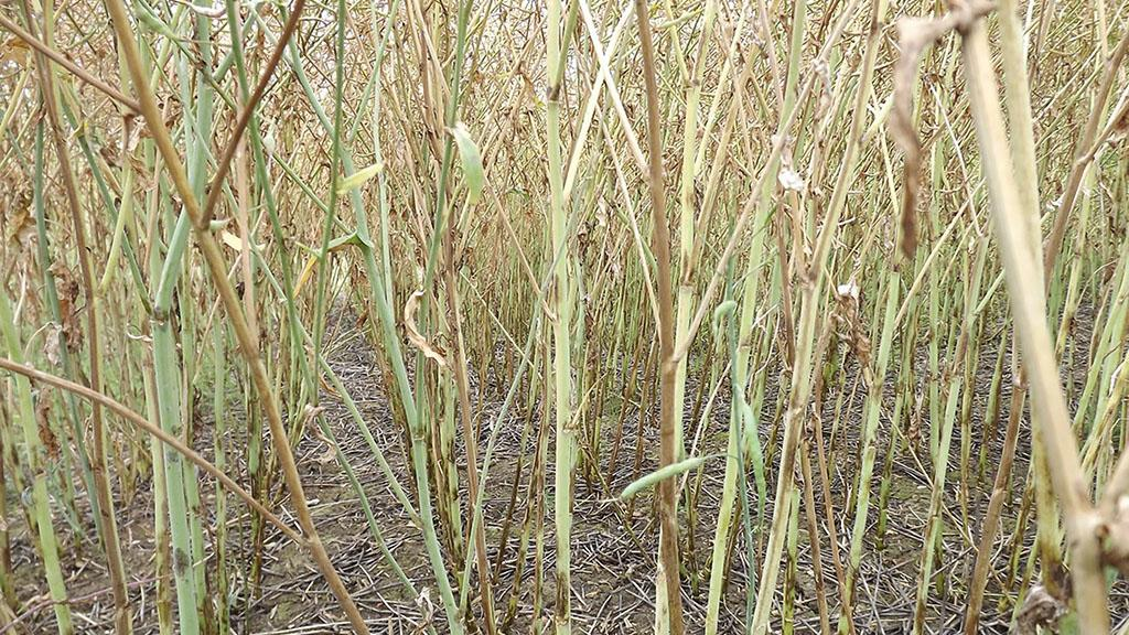 Potential to include verticillium wilt disease ratings in Recommended List