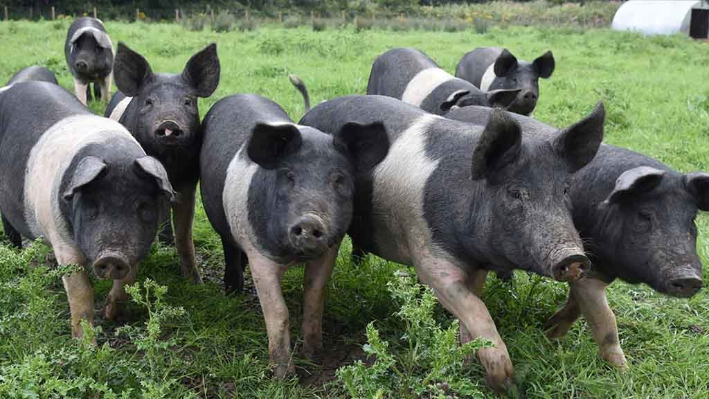 Cost of pig meat production in Great Britain increases