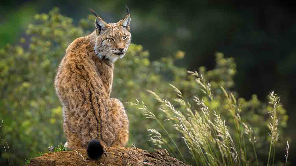 Farmers 'ecstatic' lynx proposals rejected but warned it's not the end of rewilding
