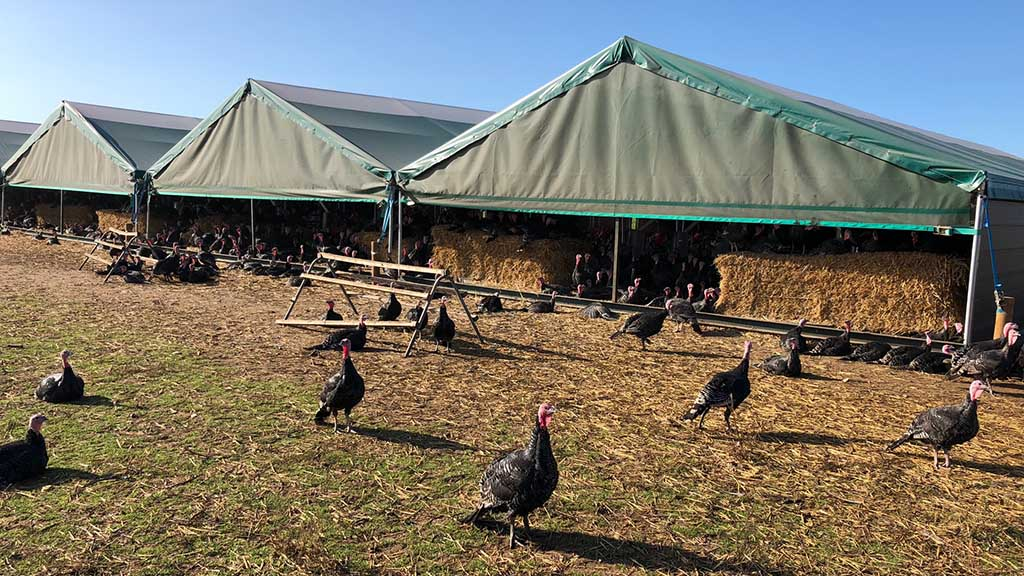 Free range turkeys use xylophones to show their 'musical talent'