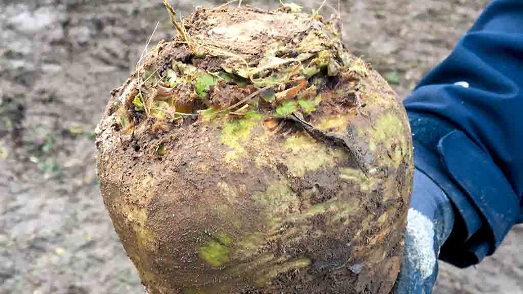 Avoid over-crowning in variable beet crops