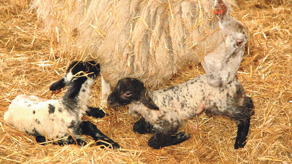 Sheep and lambing: Plan ahead to avoid diseases taking hold