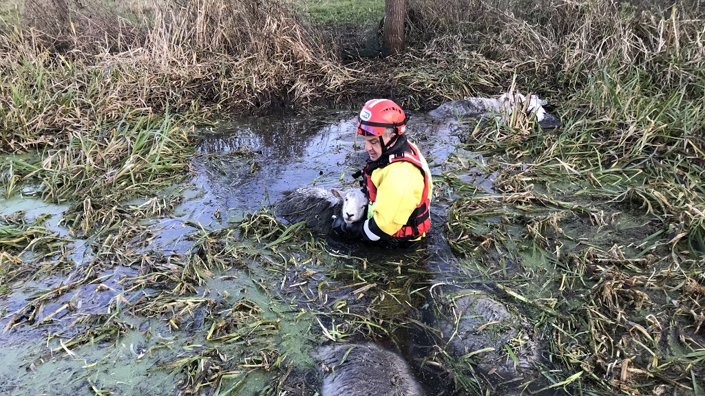 Nine ewes saved from drowning in freezing river - but seven die