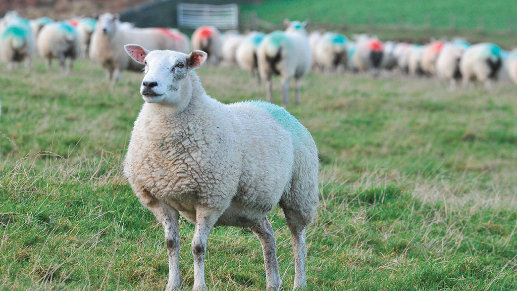 New Zealand reaction to no-deal key to future UK sheepmeat production