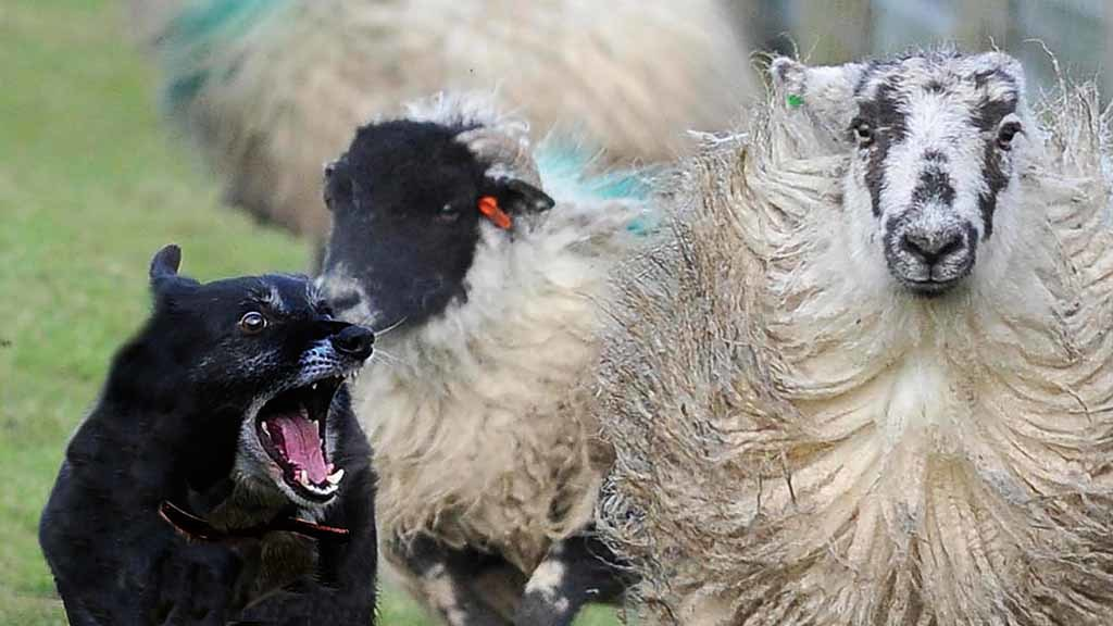 Sheep worrying incidents leave farmers feeling 'anxious, angry and 'upset', NSA survey finds