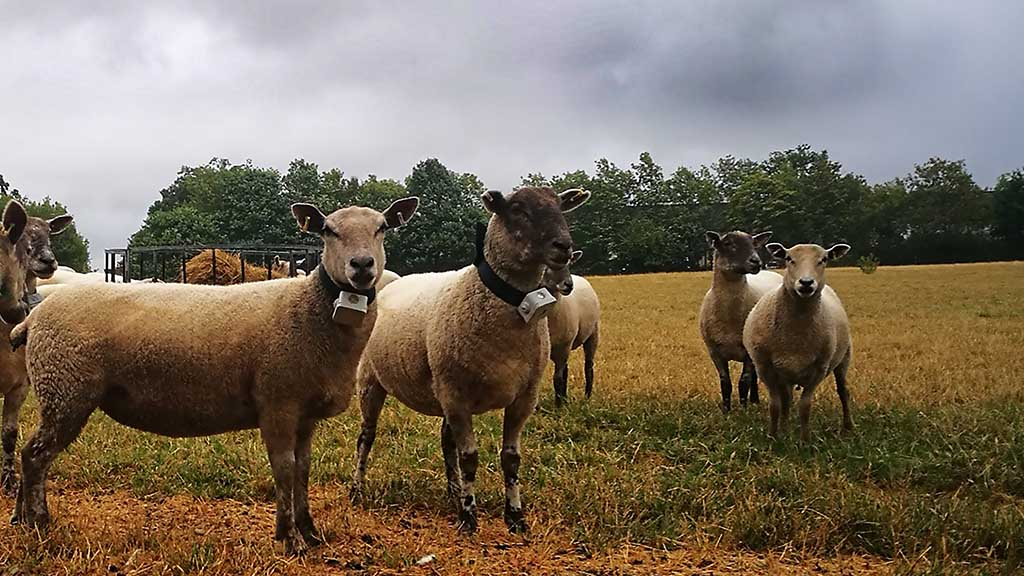 Backbone of Britain: New technology aims to put a stop to sheep worrying