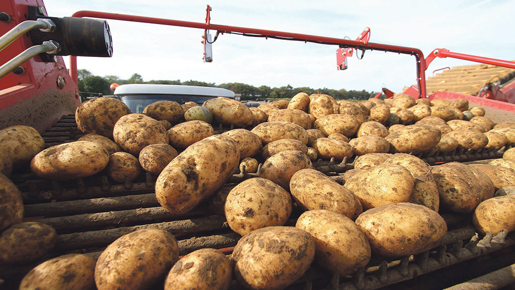 Potato yields down but quality good amid first storage season without CIPC