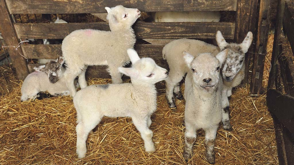 'Only one in five' farmers are feeding artificially reared lambs enough colostrum