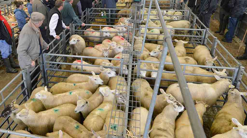 Liveweight lamb price dips as demand falls at markets across the UK