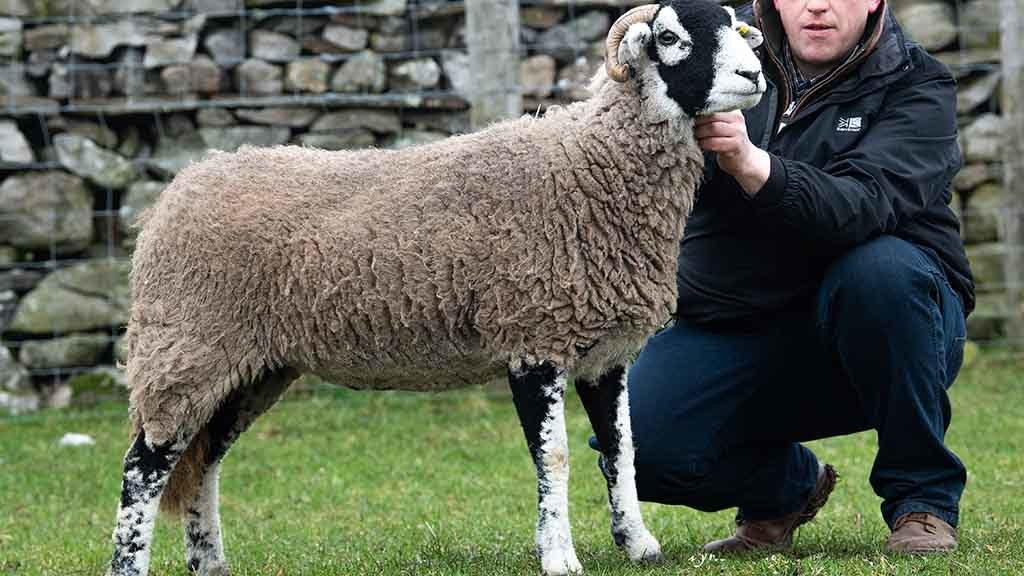 The Swaledale overall champion, a shearling form W. Richardson & Son, Appleby, which sold for £5,600