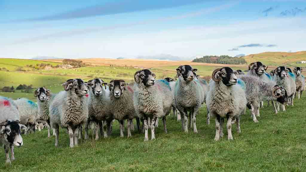 The farm has 1,050 Swaledale ewes in total.