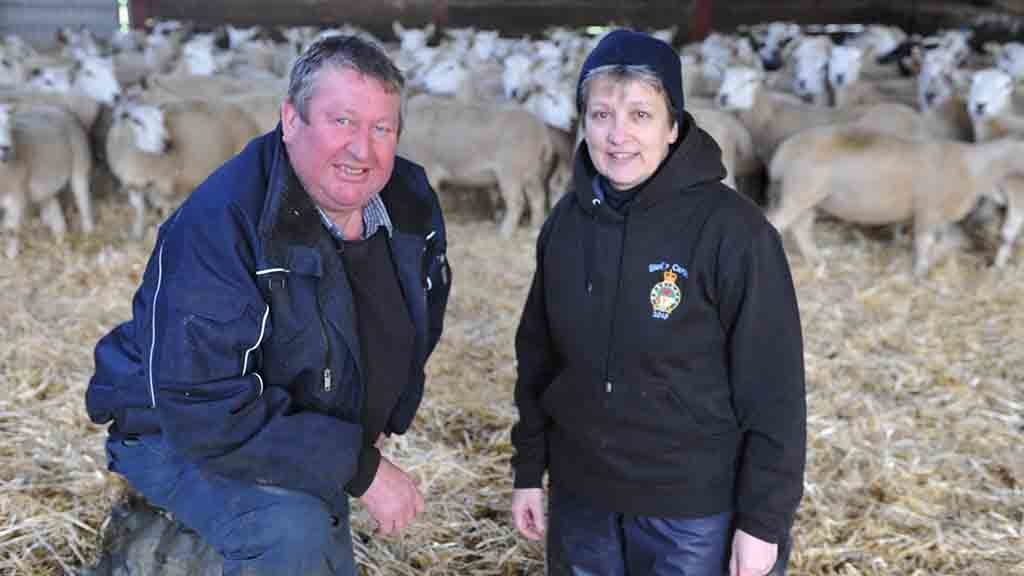 Shearing pregnant ewes at housing reduces pre-lambing stress on flock