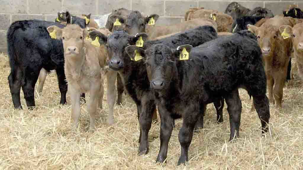 Prevention and treatment advice: Counting the cost of calf pneumonia