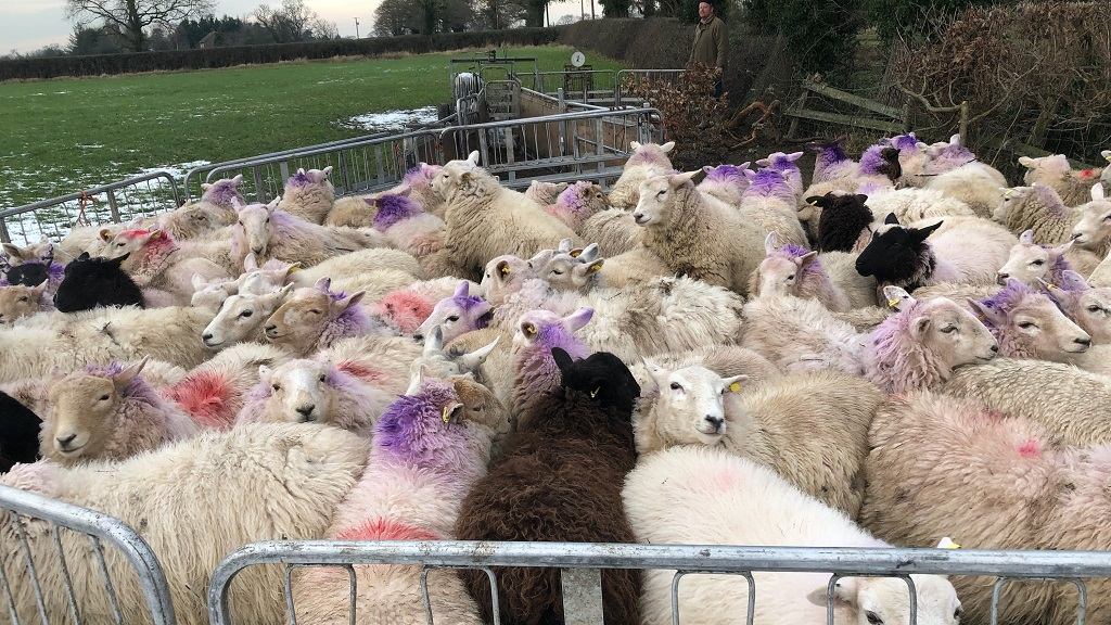 'It looks like a professional job' - 143 sheep 'vanish' as rustlers target UK farm