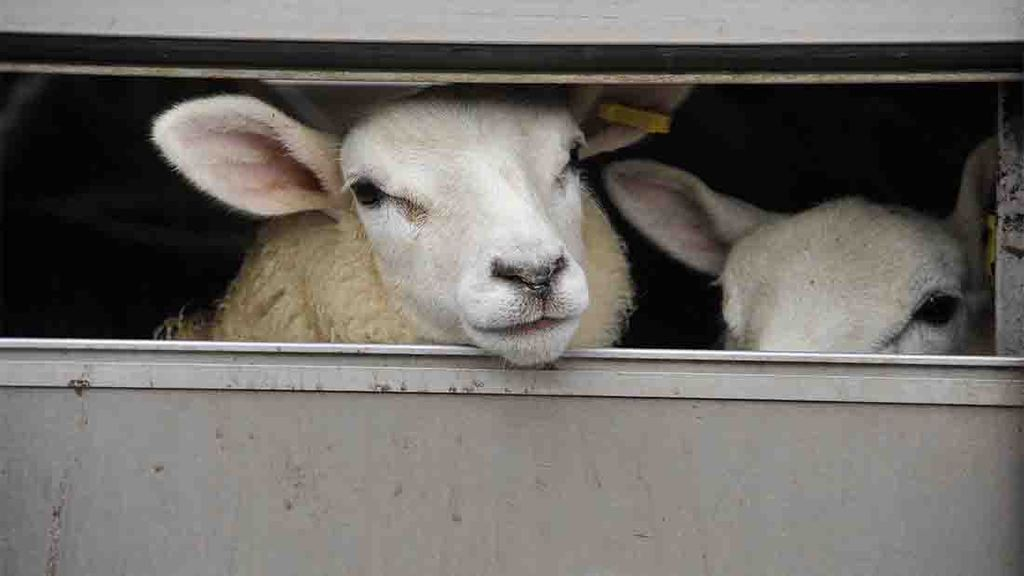 New strain of salmonella in sheep being investigated by APHA