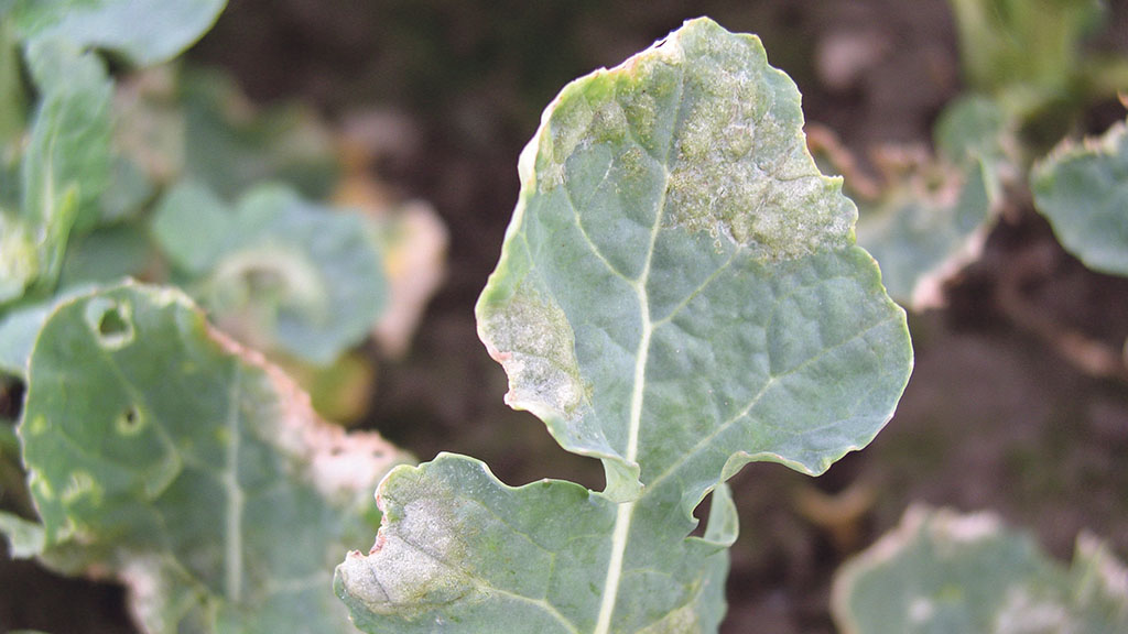 Light leaf spot risk lowest for several years