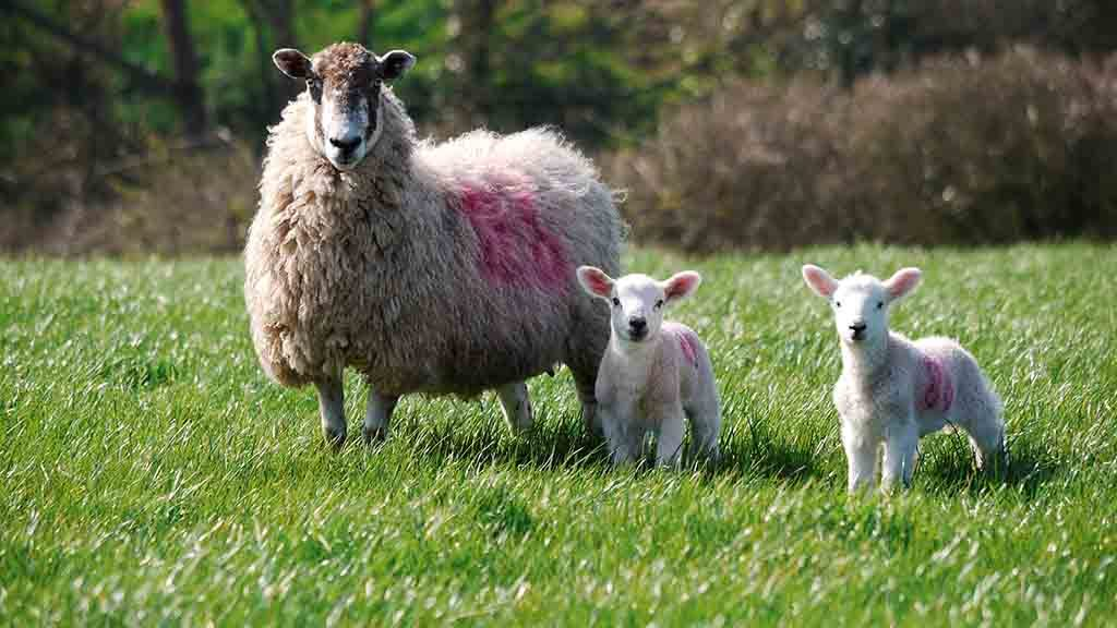 SHEEP SPECIAL: Value in a targeted approach to worm control