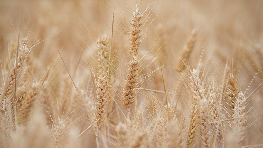 Basic Payment Scheme figures cause confusion in UK grain markets