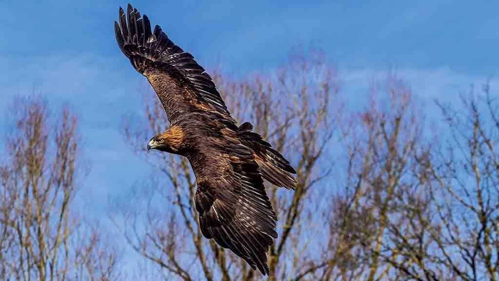 Plans to reintroduce golden eagles after 200 years criticised by industry leaders