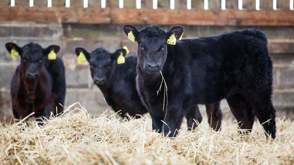 Sexed male beef semen 'an industry game-changer'