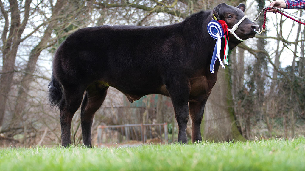 Steer and reserve overall champion which sold for £5100