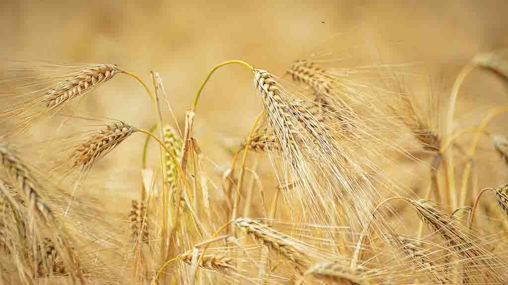 Harvest 2019: RL barley yields ahead of five-year average