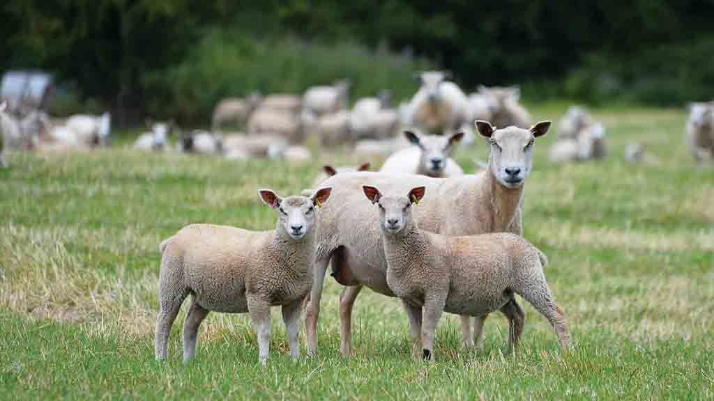 NSA hits out at Defra failure to protect sheepmeat marketing standards