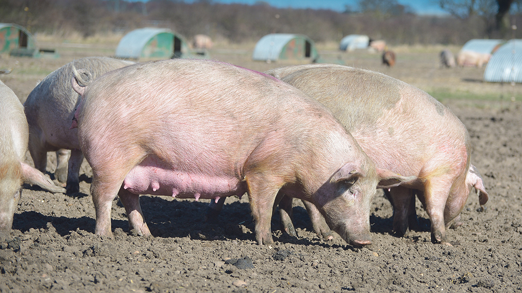 NPA warns friction at UK-EU border will hit breeding stock and cull sow exports