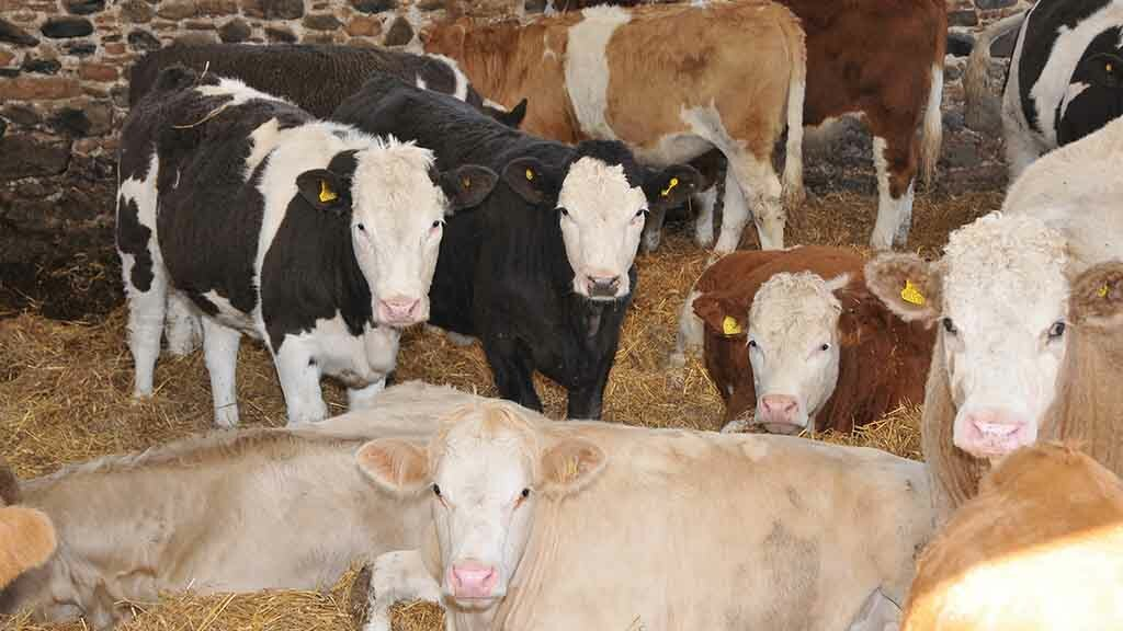 Hitting specifications vital to achieving good price in cattle markets