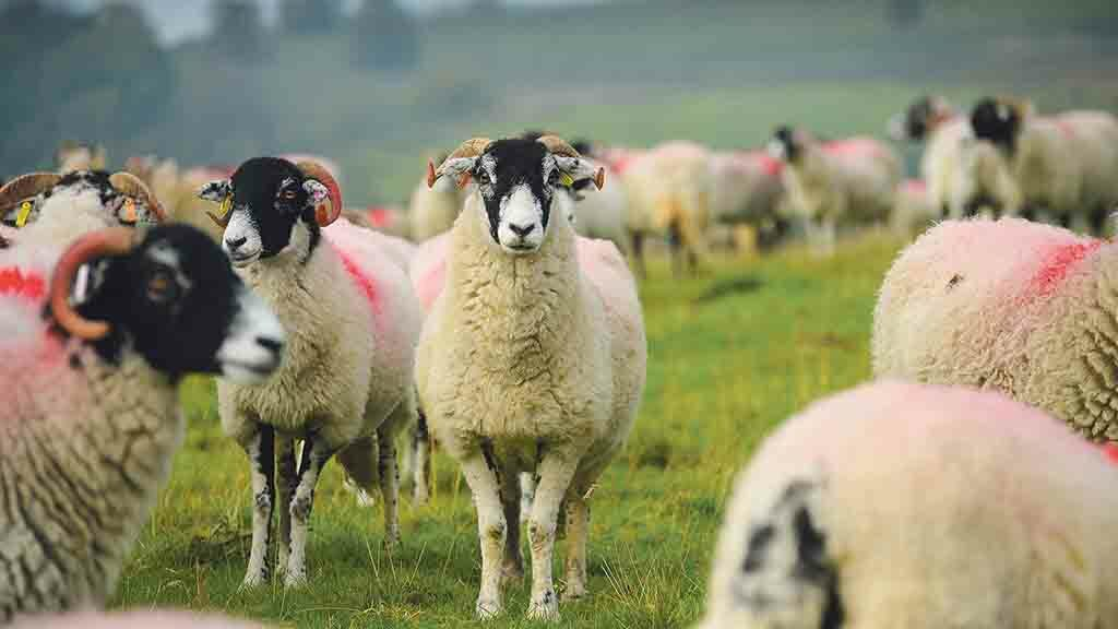 Ask for advice: Understanding the impact of iceberg diseases in sheep