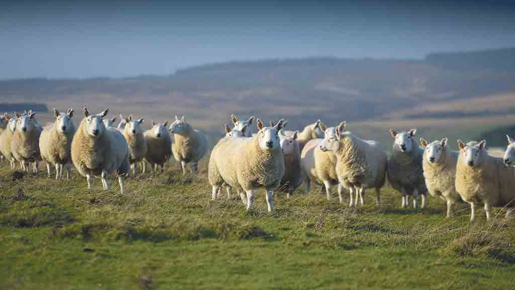 'Quite frankly a laughable response' - George Eustice suggests sheep farmers diversify into beef in a no deal scenario