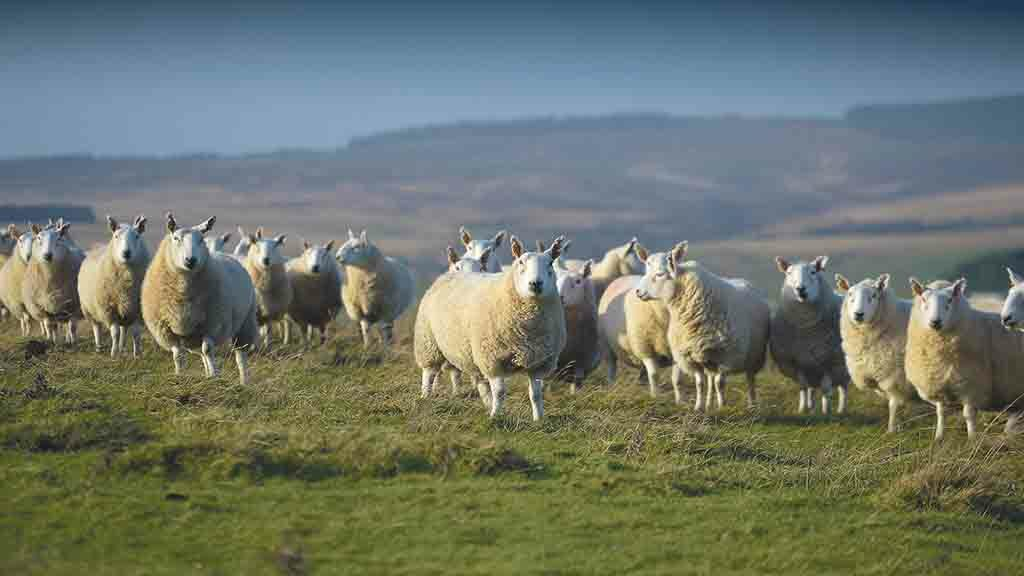 Research which claims sheep farmers should afforest their land 'fundamentally flawed'