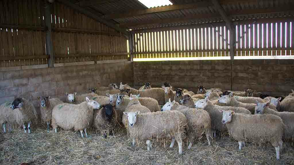 Sheep special: Minerals critical for the success of lambing 2020