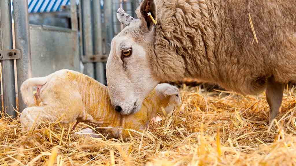 Vet's view: The successful management of newborn lambs this season