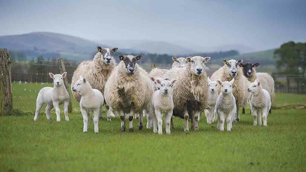 Give lambs the best possible start to life: Keeping on top of coccidiosis