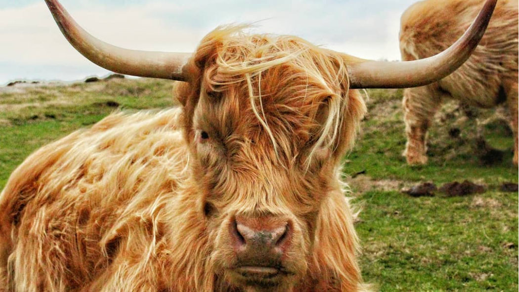 25,000 people sign petition to get Highland cattle back on Baslow Edge