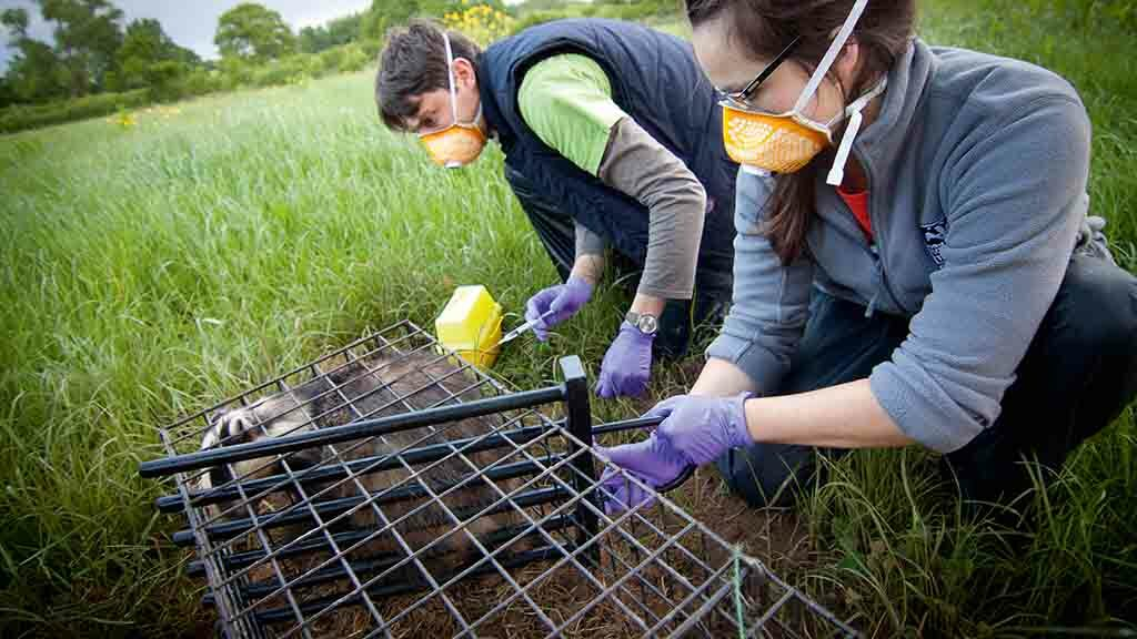 Bovine TB special: Putting the spotlight on badger vaccination in the UK